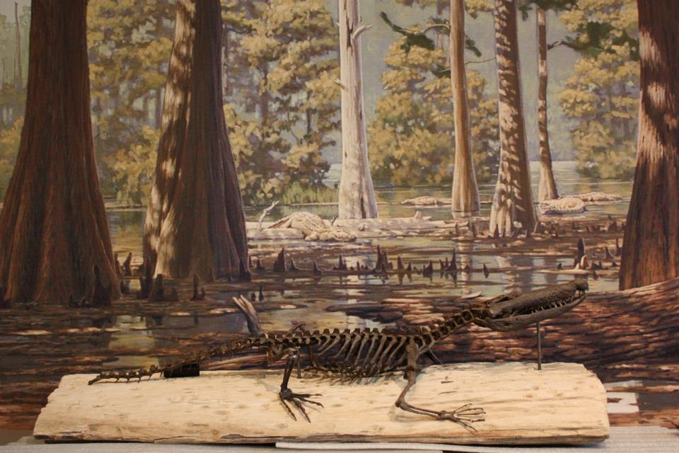 Skeleton of the crocodile Borealosuchus