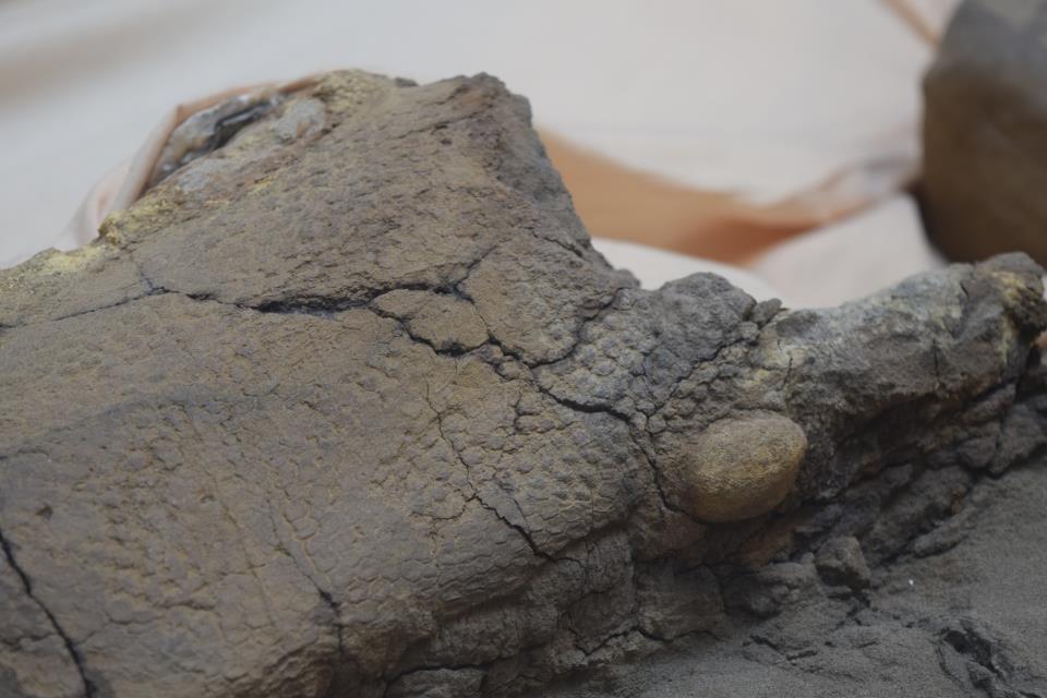 Mummified dinosaur skin