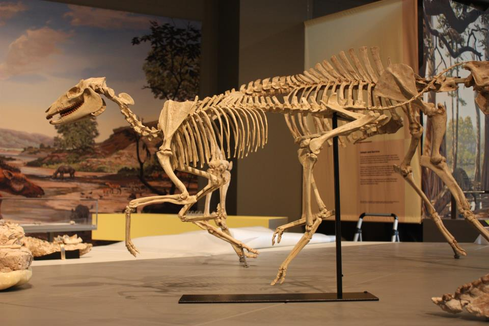 Skeleton of the three-toed horse Mesohippus