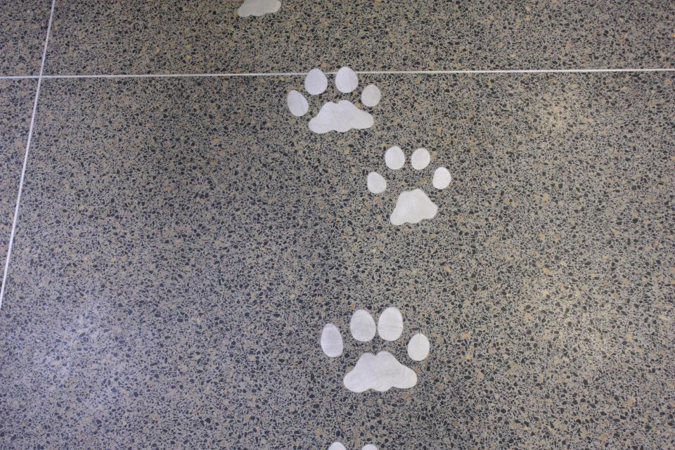 Sabertooth Cat Footprints
