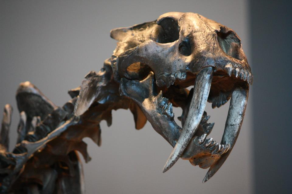Skull of saber-toothed cat