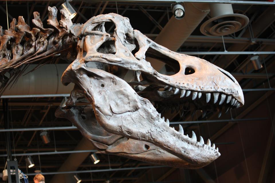 Skull cast of Tyrannosaurus rex