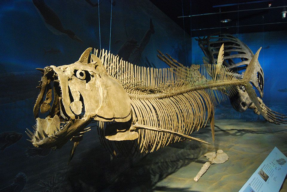Skeleton cast fo the giant tarpon-like fish Xiphactinus